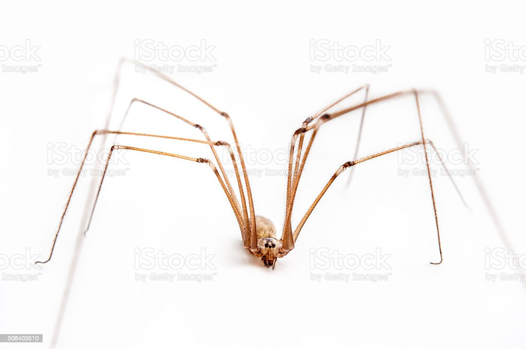 Close Up Of A Longed Cellar Spider stock photo