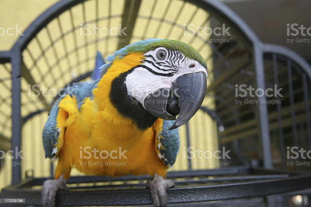 Close up of a Macaw - Blue & Gold stock photo