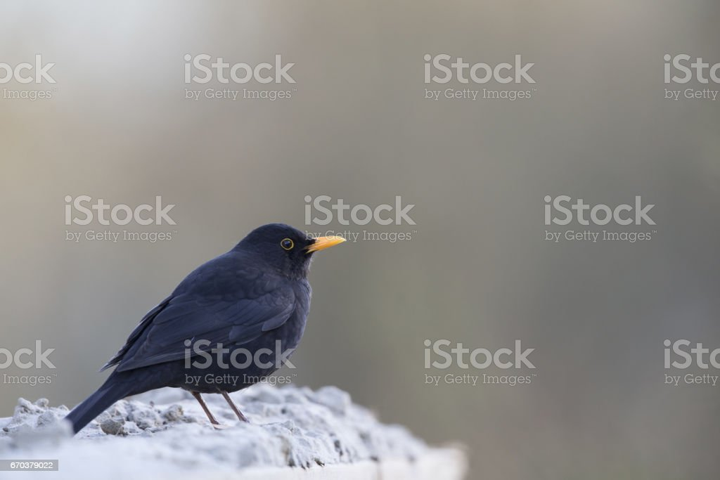 Close up of a male blackbird perched on a sand. stock photo