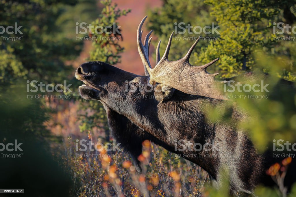 Close up of a male Moose with huge antlers in the late afternoon light stock photo