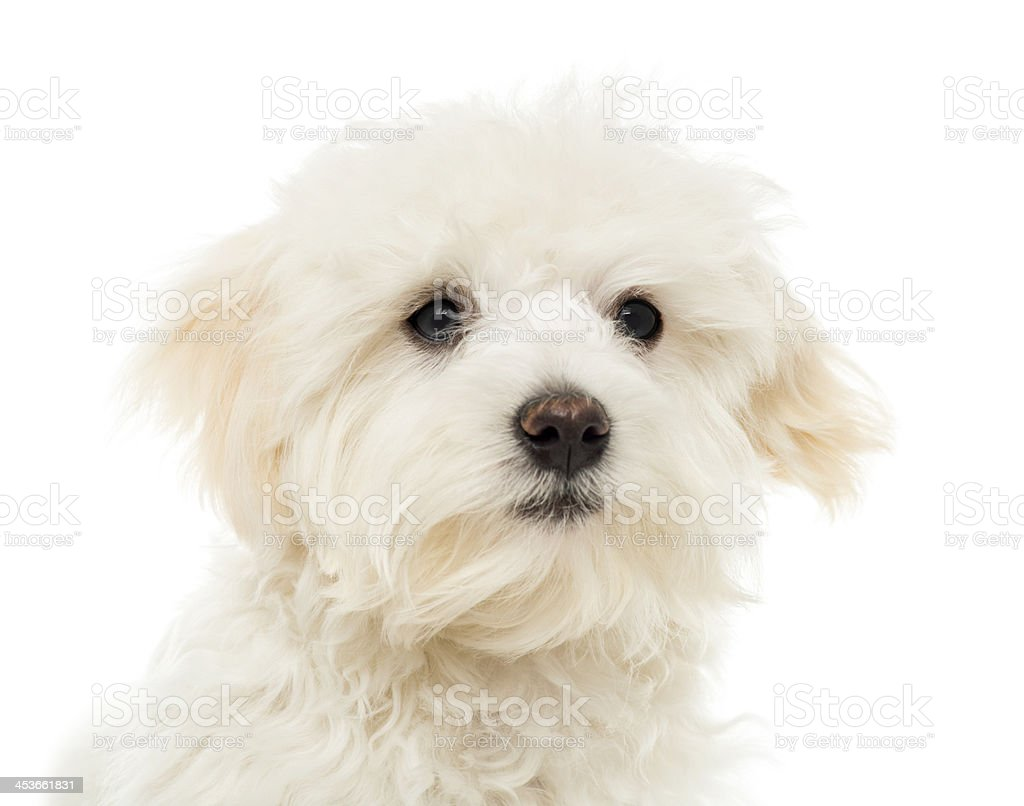 Close up of a Maltese puppy, 7 months old, isolated stock photo