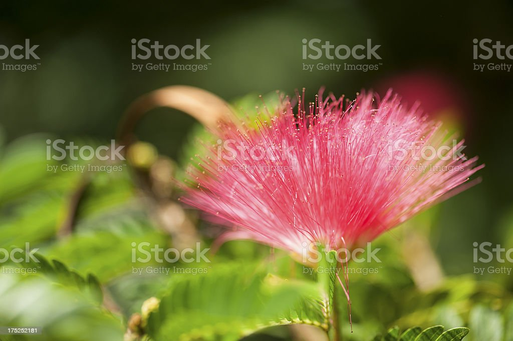 Close Up Of A Mimosa Bloom royalty-free stock photo