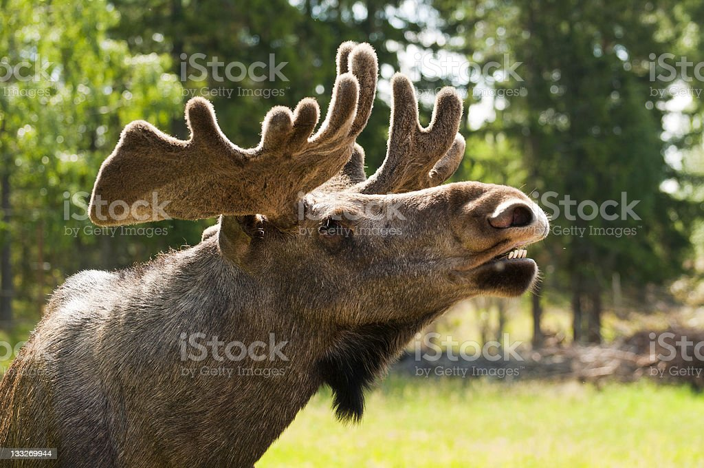 Close up of a moose royalty-free stock photo