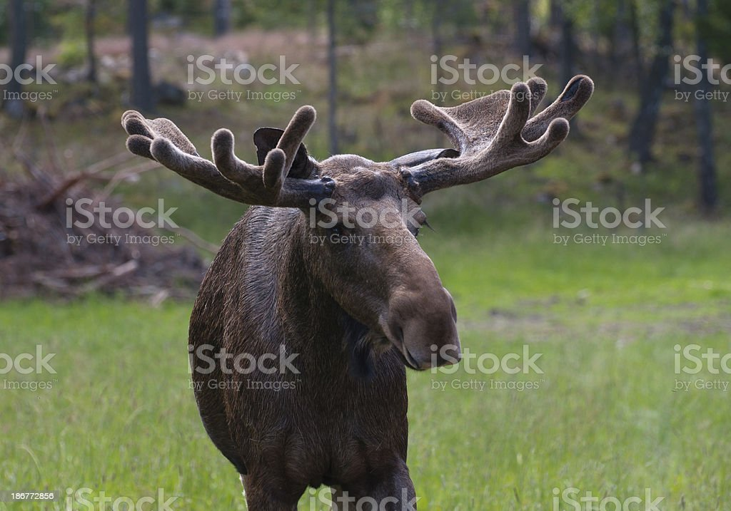 Close up of a moose stock photo