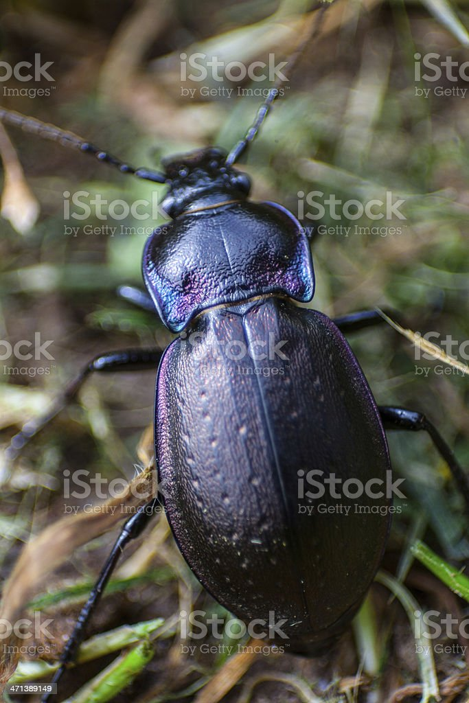 Close up of a multi colored beetle in the grass stock photo