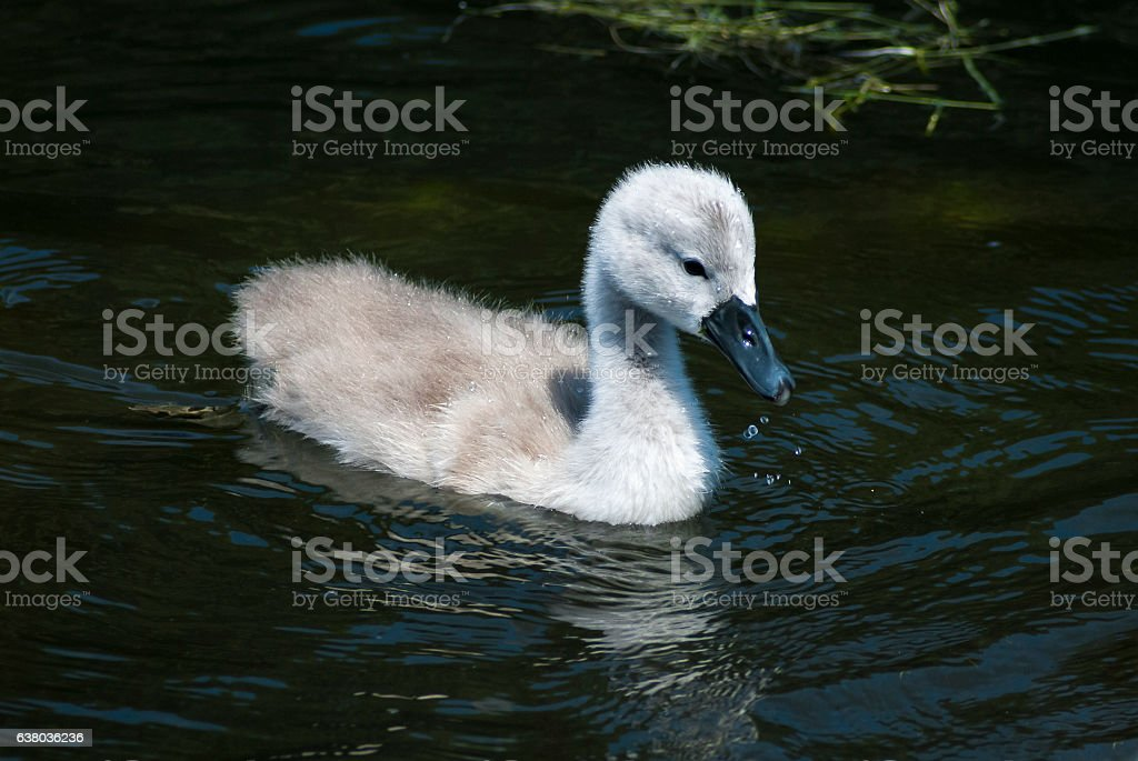 Close up of a Mute Swan Cygnet in summer sunshine stock photo