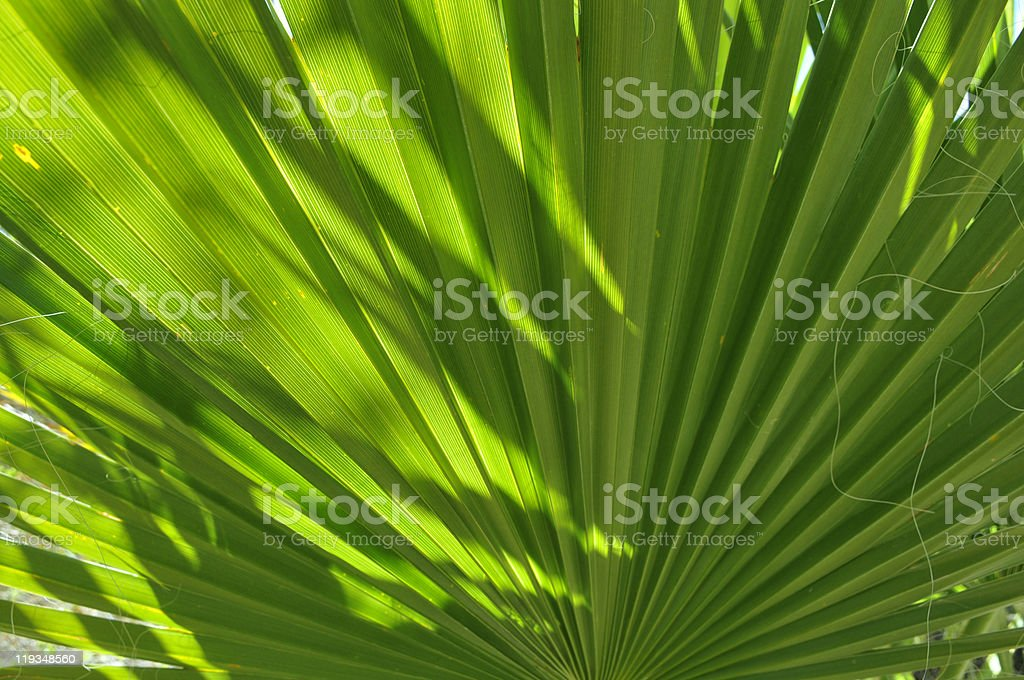 Close up of a Palm Frond royalty-free stock photo