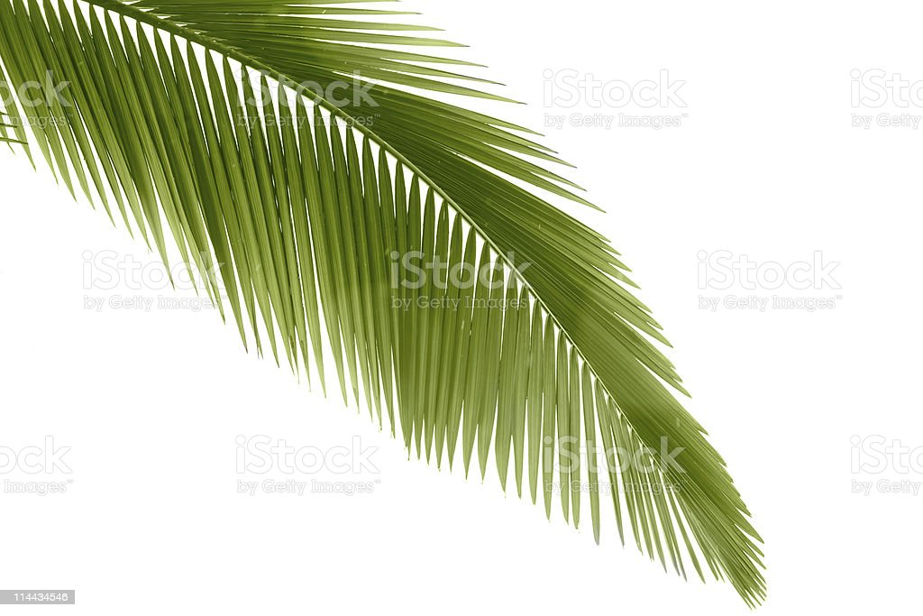 Close up of a Palm leaf branch stock photo