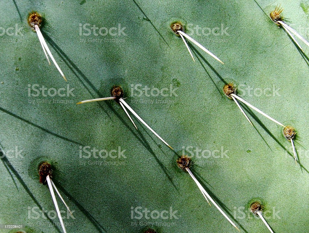 Close up of a pear cactus with sharp needles. royalty-free stock photo