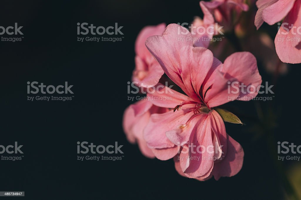 Close up of a pink flower. royalty-free stock photo