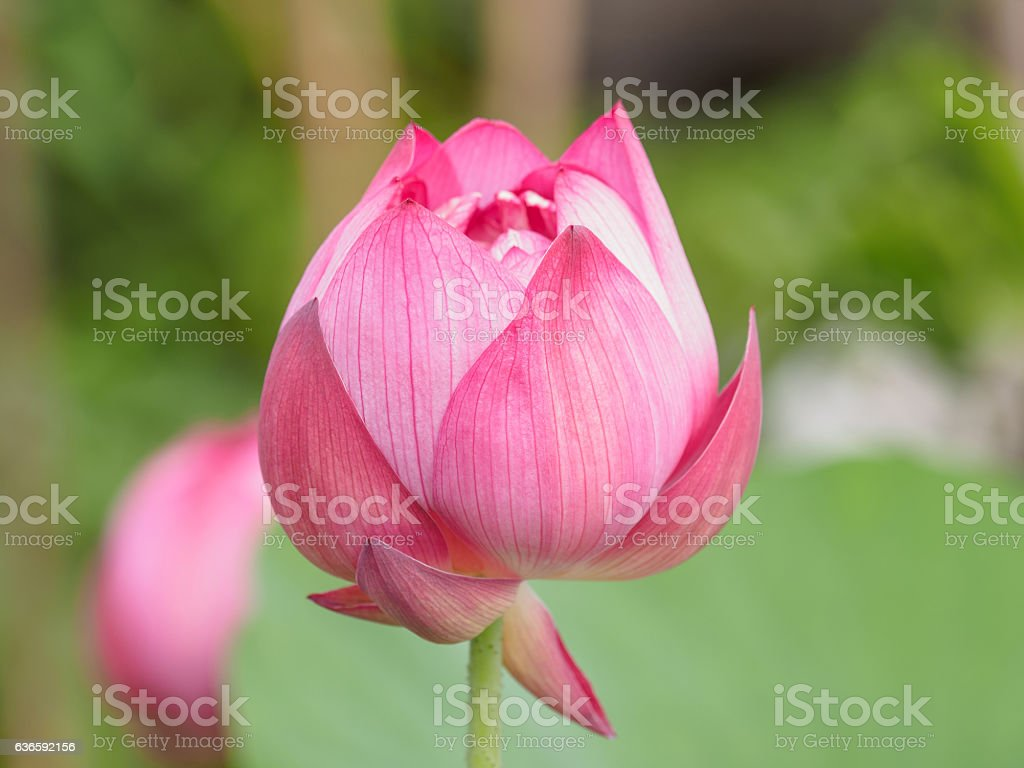 Close up of a pink lotus flower bud stock photo 636592156 istock close up of a pink lotus flower bud royalty free stock photo izmirmasajfo