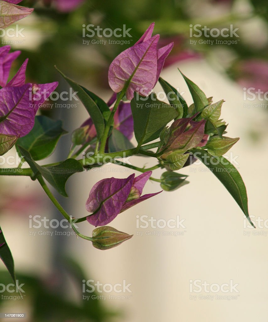 Close up of a purple bougainvillea plant branch royalty-free stock photo