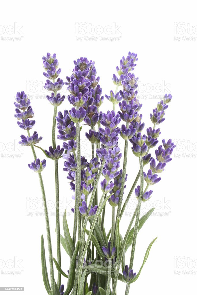 Close up of a purple lavender plant royalty-free stock photo