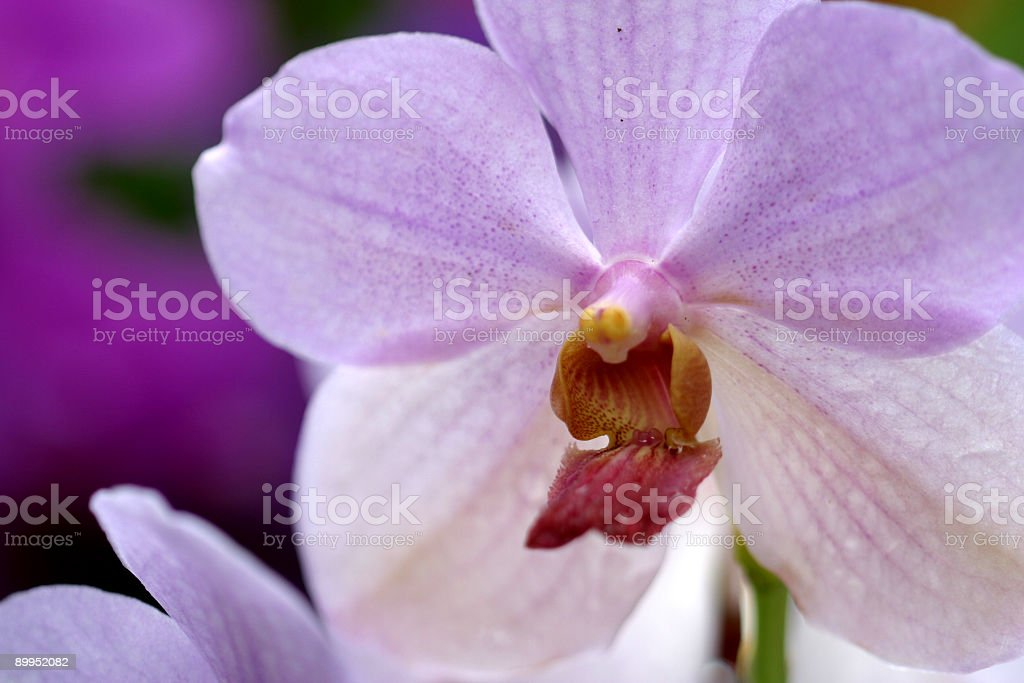 Close up of a purple orchid flower stock photo