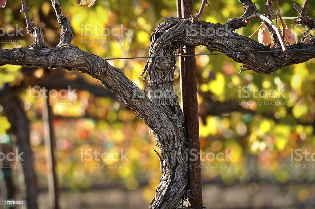 Close up of a Red Grape Wine Vine royalty-free stock photo