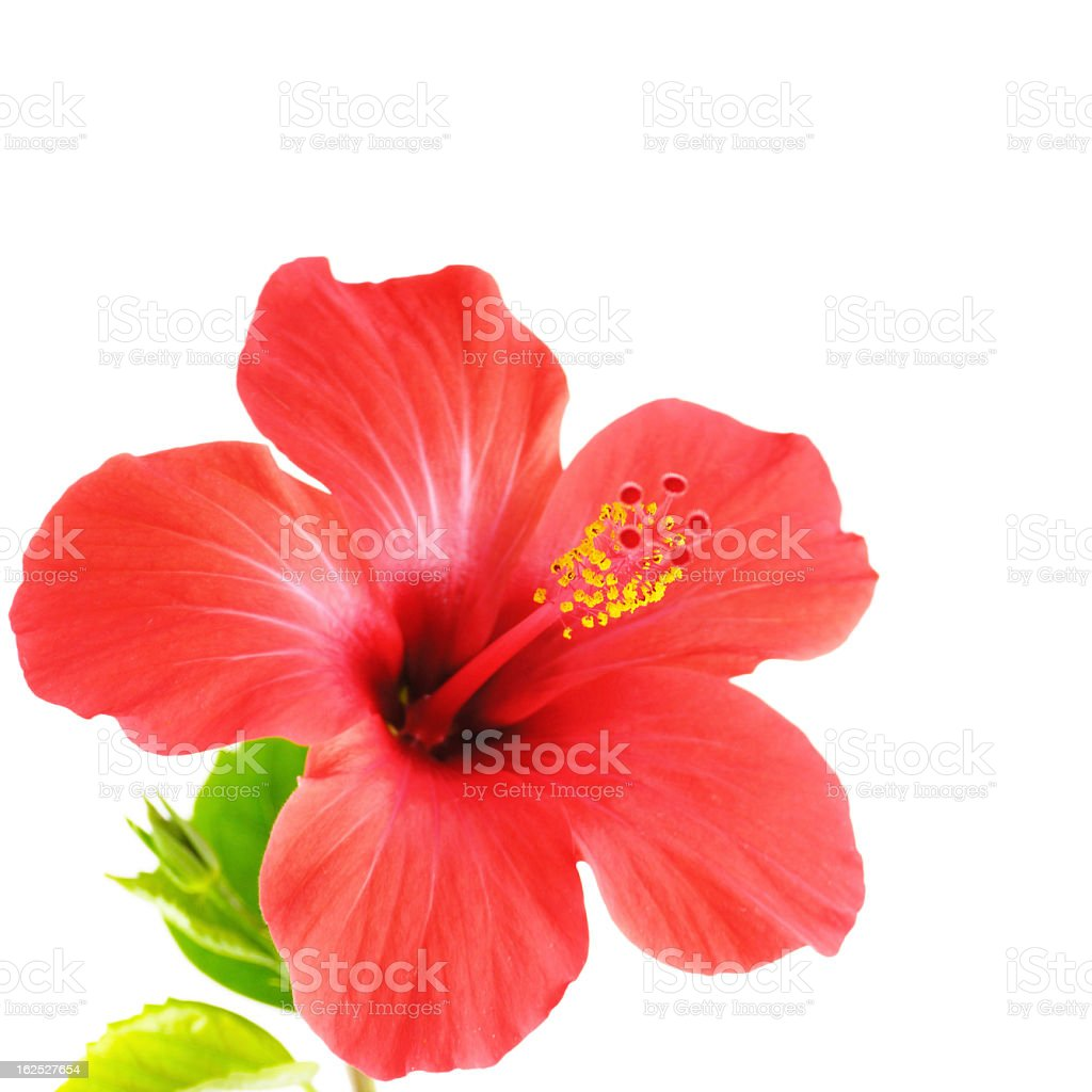 Close up of a red hibiscus flower stock photo