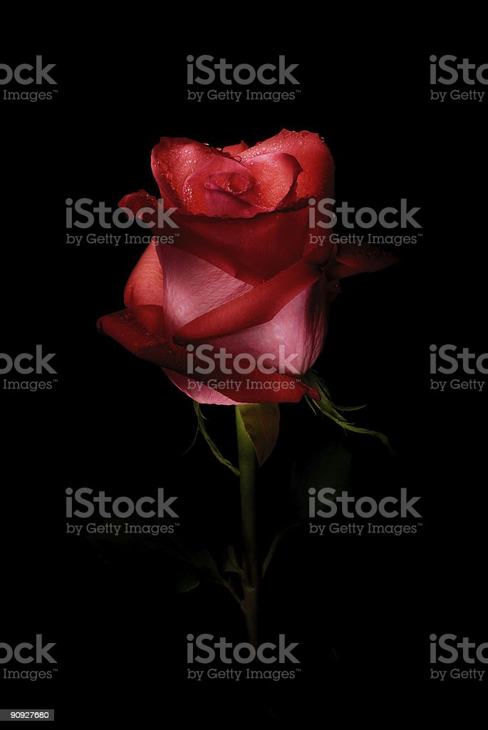 Close up of a red rose petals together royalty-free stock photo