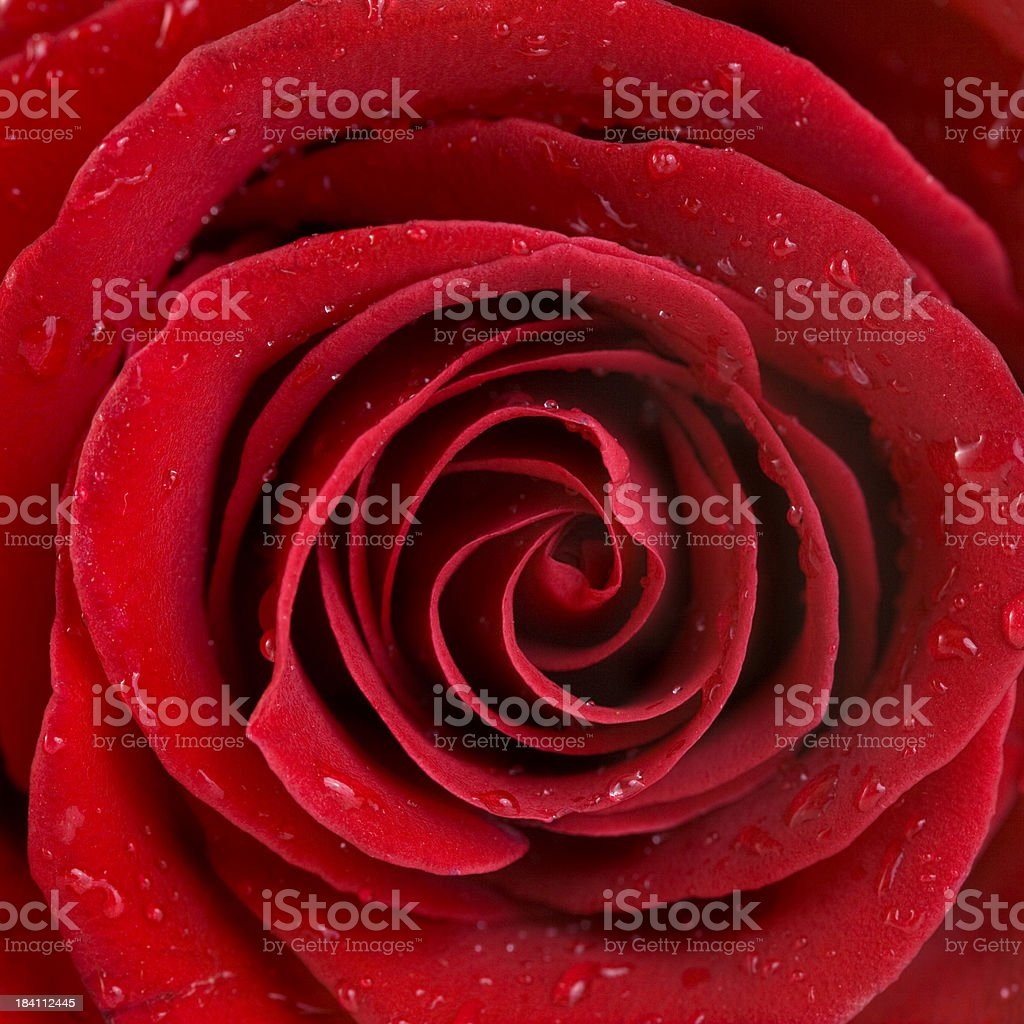 Close up of a red rose royalty-free stock photo