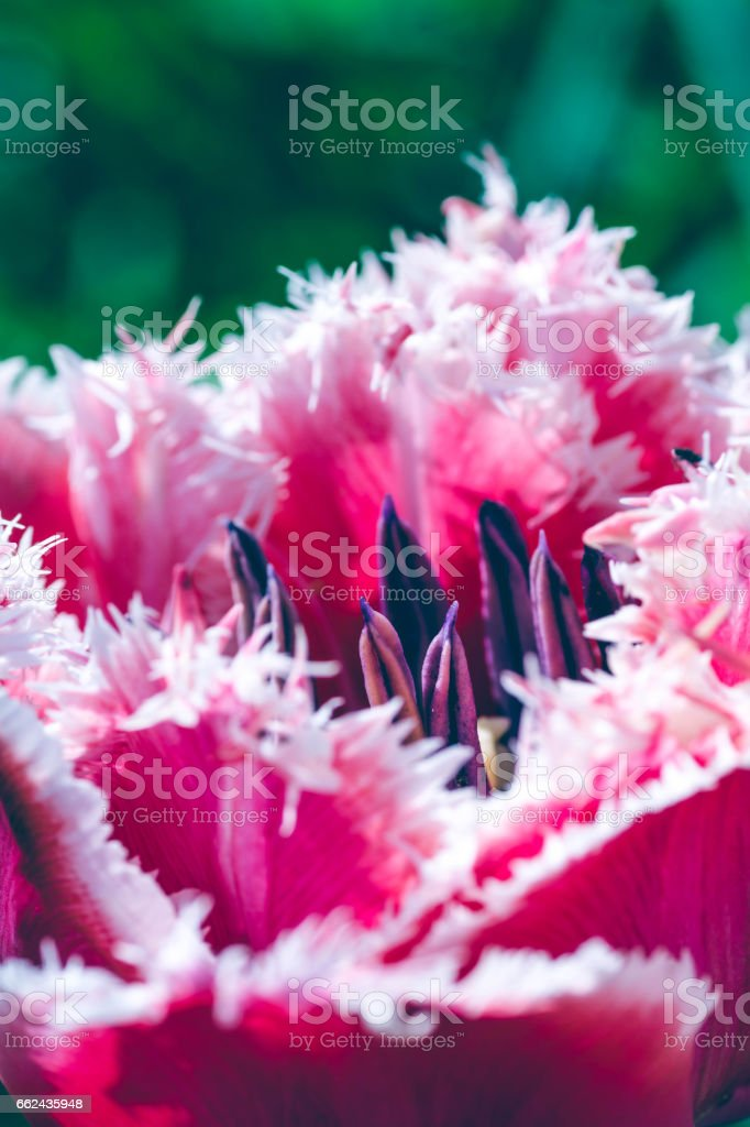 Close Up of a Red Tulip stock photo