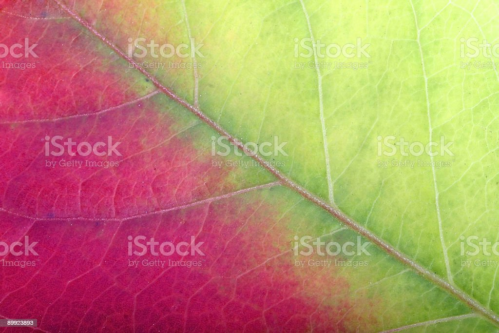 Close up of a red-green leaf stock photo