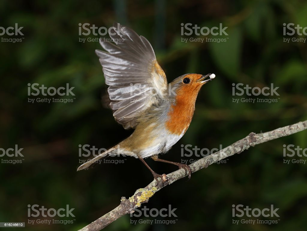 Close up of a robin taking off stock photo