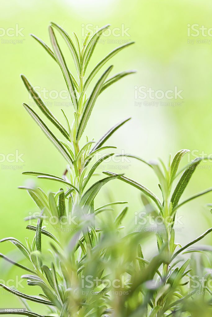 A close up of a Rosemary plant royalty-free stock photo