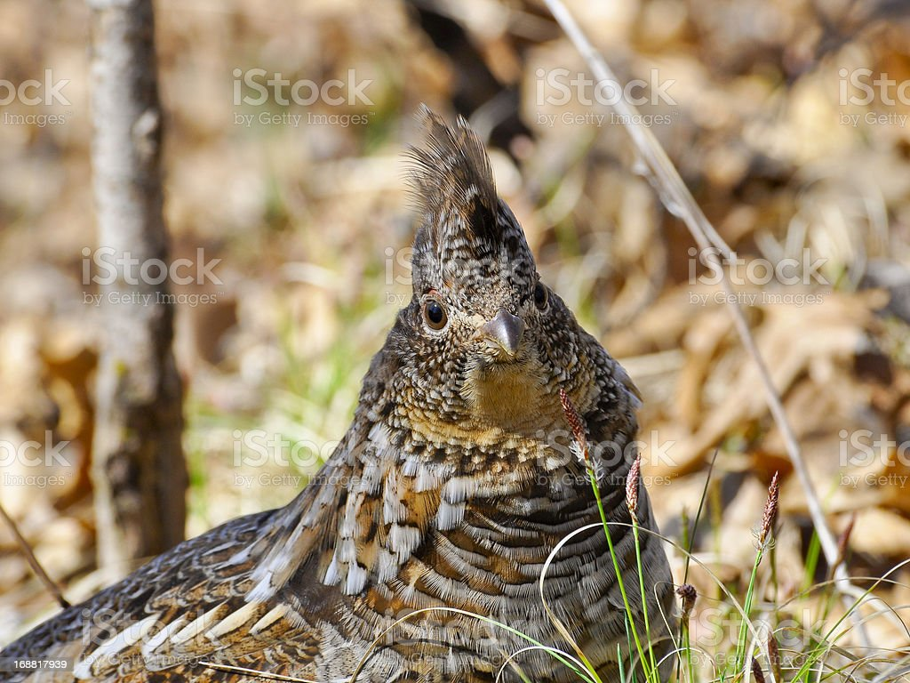 Close up of a Ruffed Grouse royalty-free stock photo
