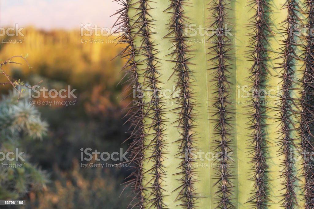 Close up of a Saguaro Cactus with Copy Space stock photo