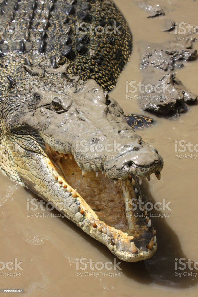 Close up of a Saltwater crocodile with open mouth on the river bank stock photo