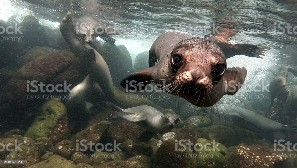Close up of a sea lion in Galapagos Inslands stock photo
