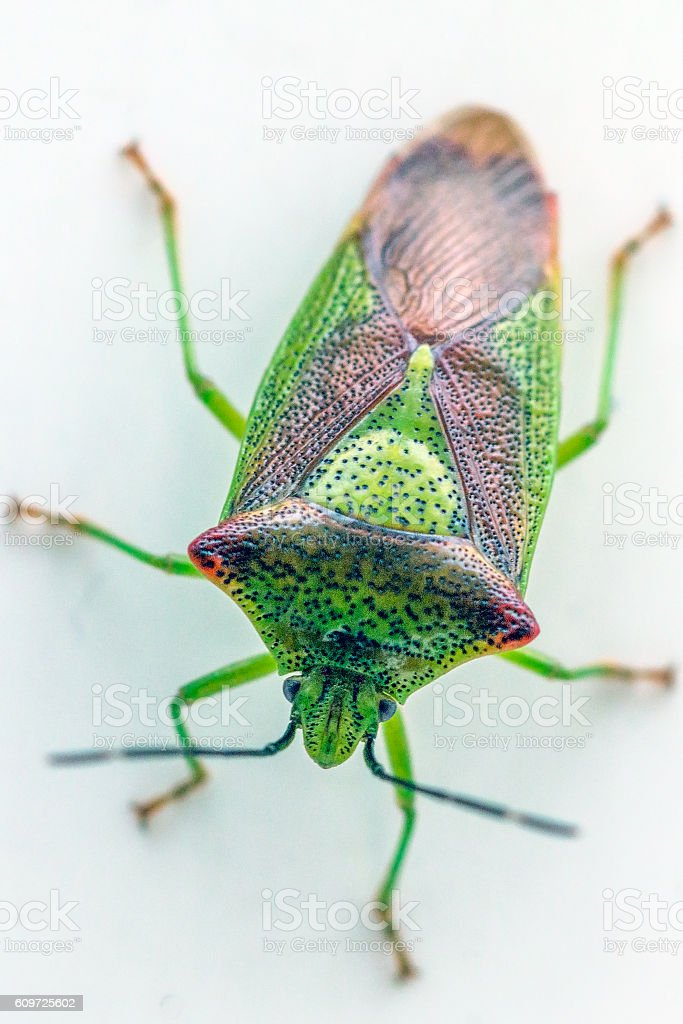 close up of a shield bug stock photo
