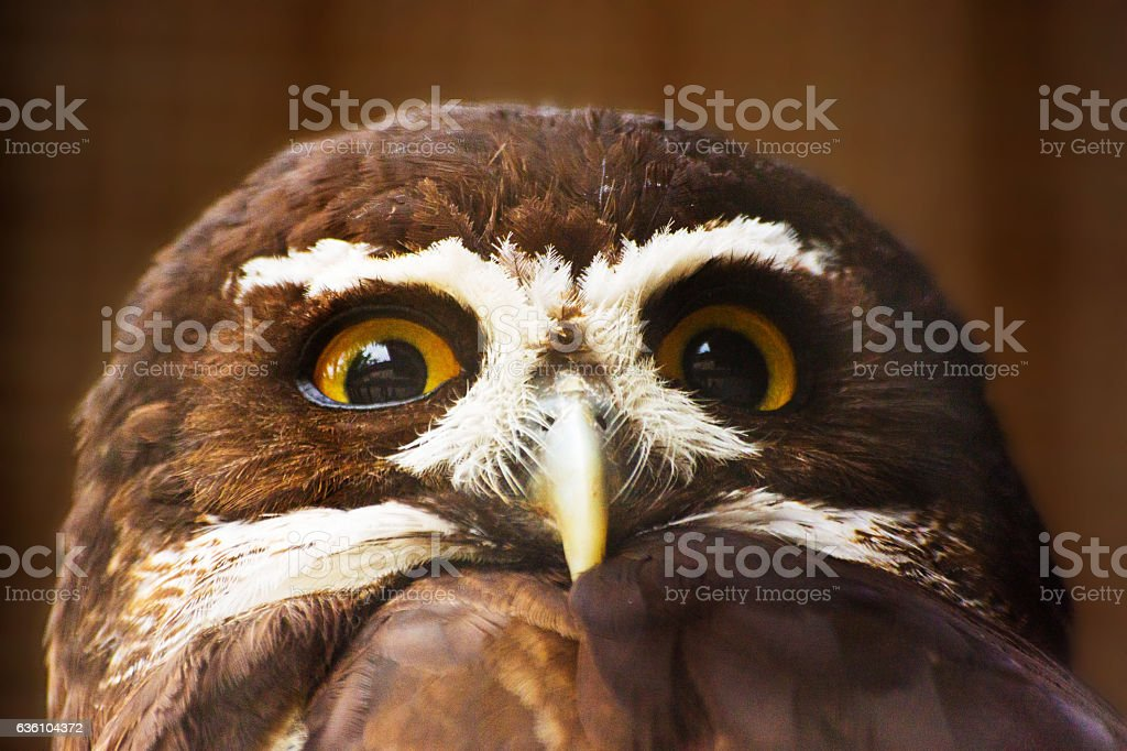 Close up of a spectacled owl stock photo