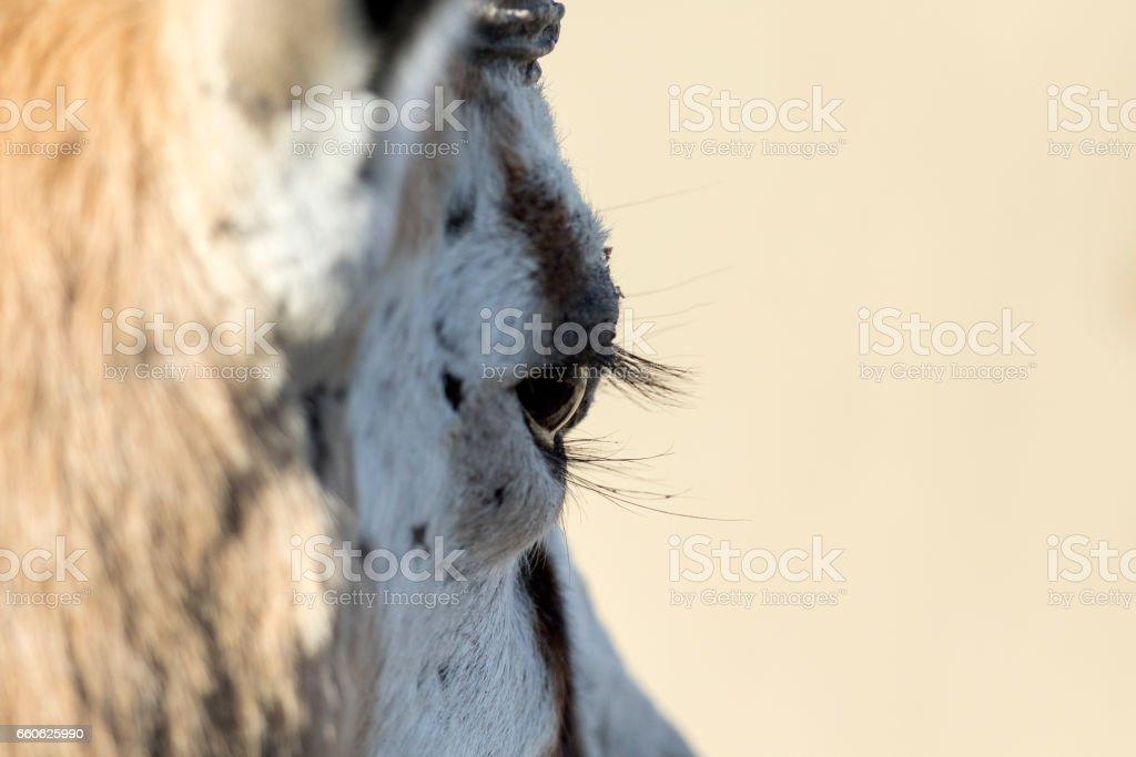 Close up of a Springboks eye stock photo
