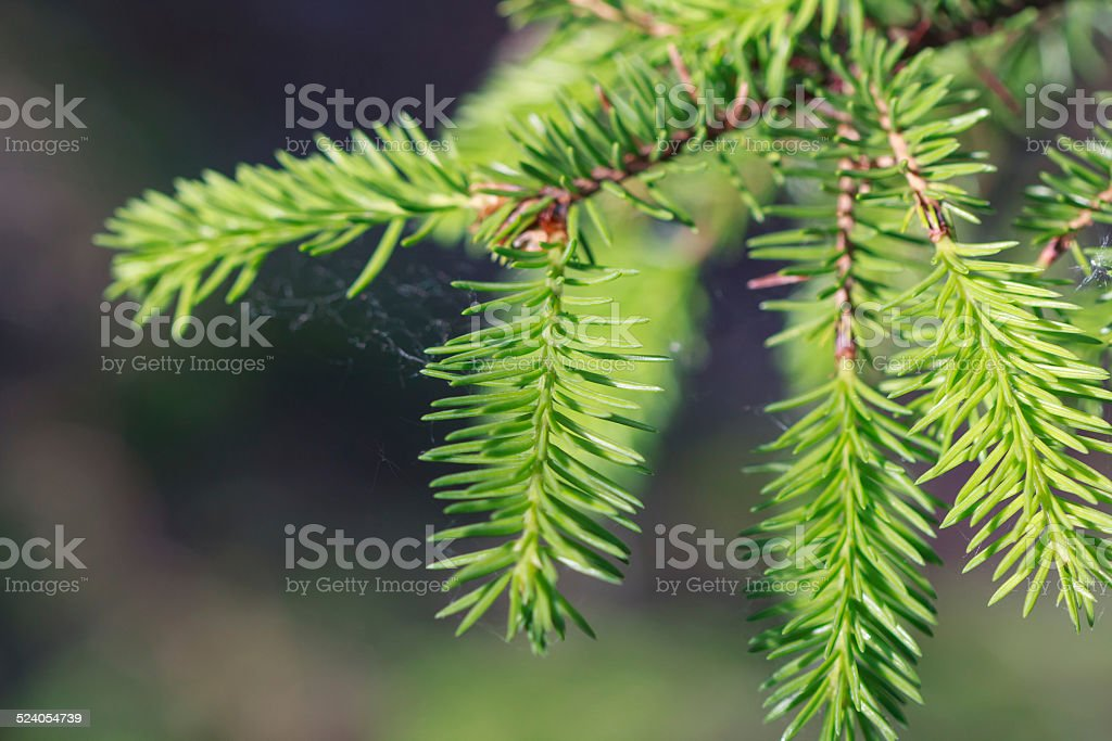 Close up of a spruce tree branch stock photo