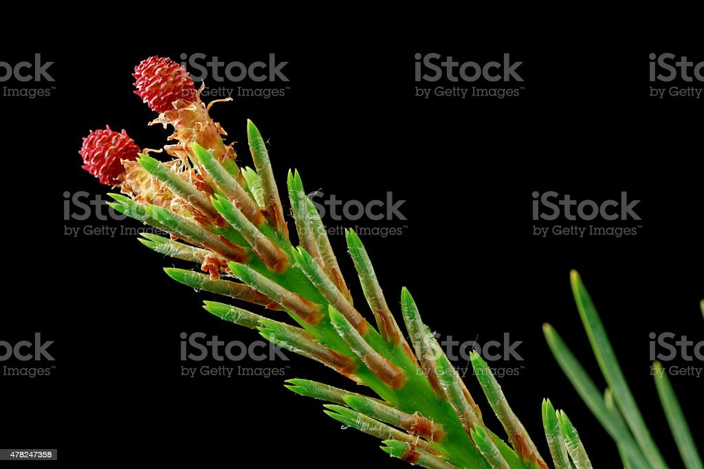 Close up of a spruce tree branch with red flowers stock photo