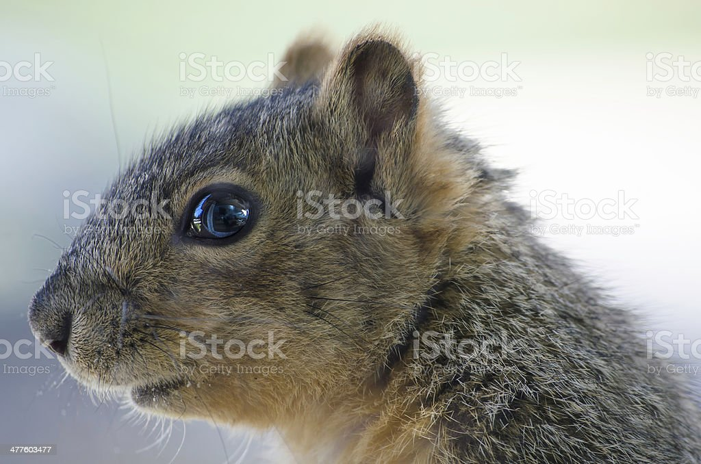 Close Up of a Squirrel royalty-free stock photo
