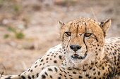 Close up of a starring Cheetah.