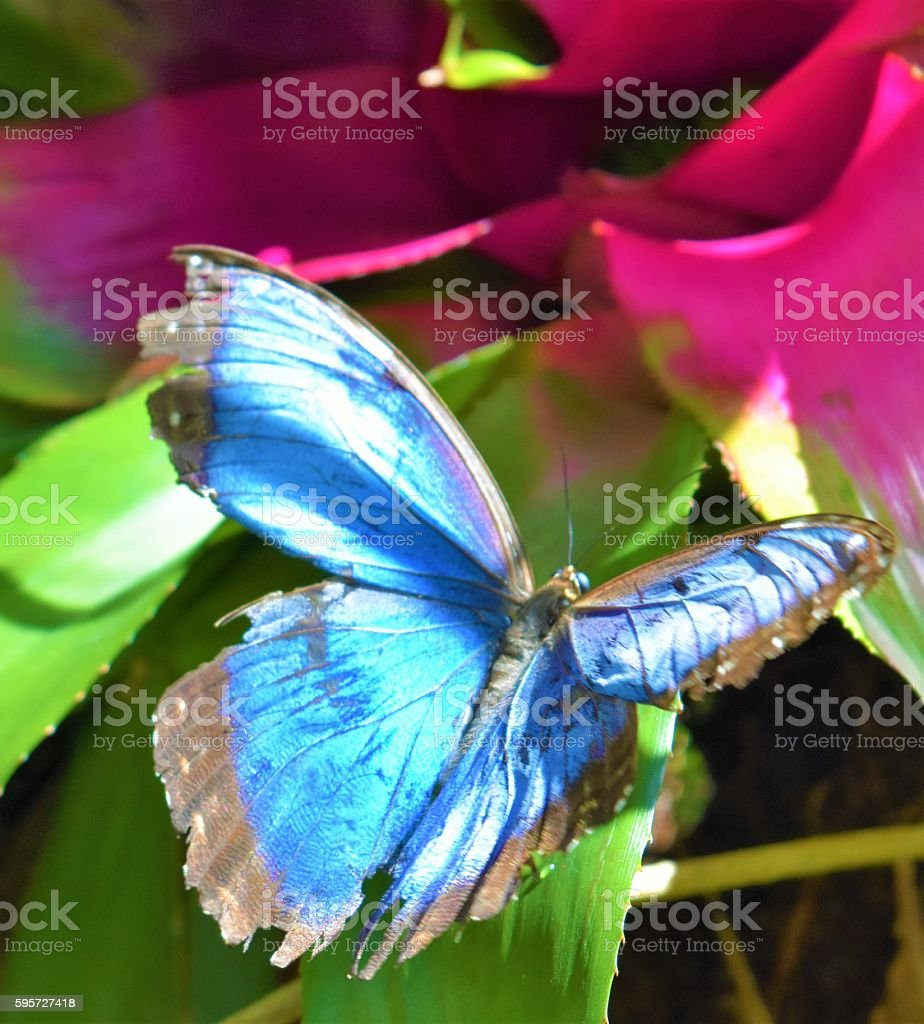 Close up of a Stunnig Blue Butterfly Sunning stock photo