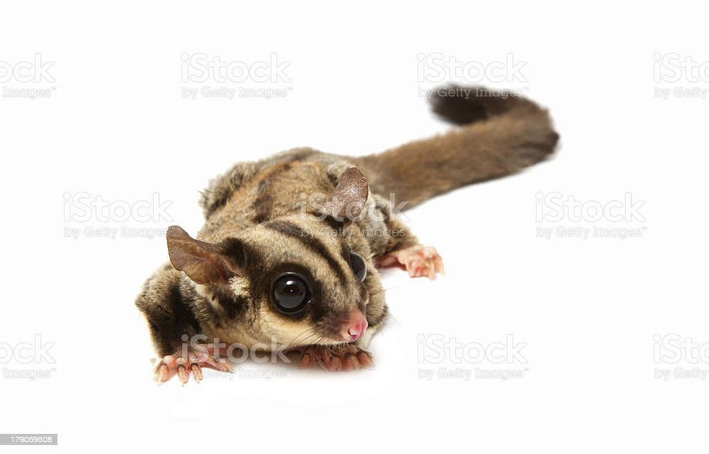 close up of a sugarglider looking photographer stock photo
