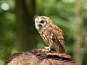 Close up of a Tawny Owl