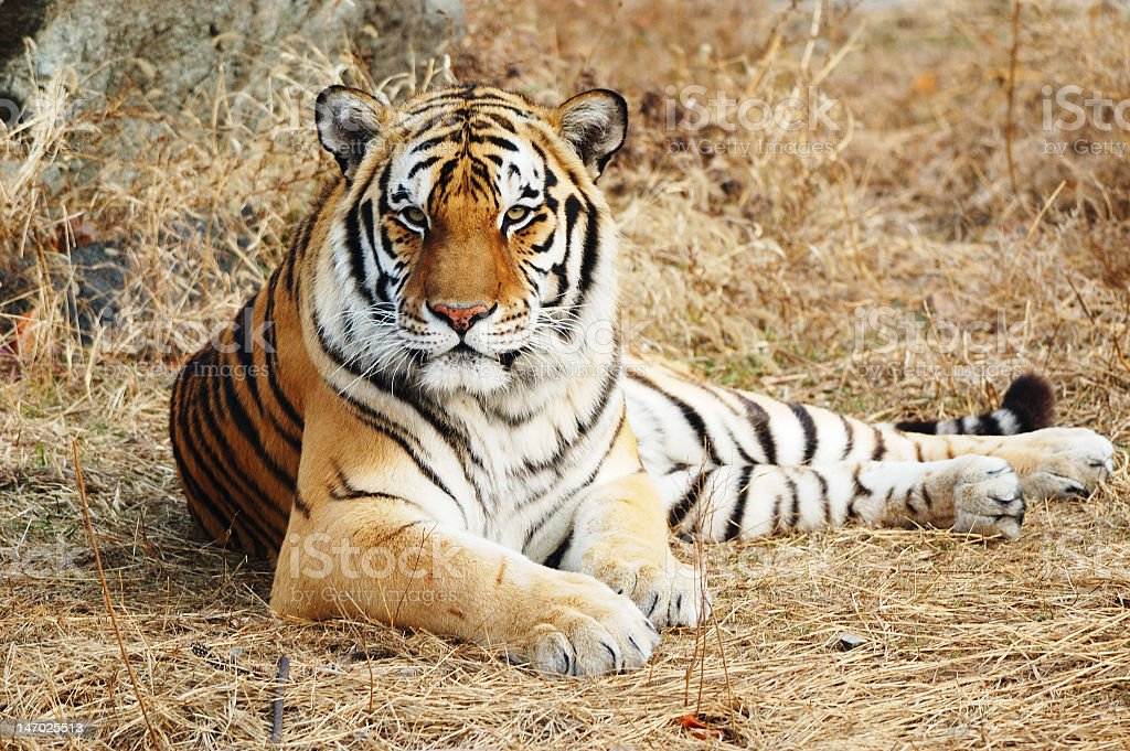 Close up of a tiger lying down on straw royalty-free stock photo