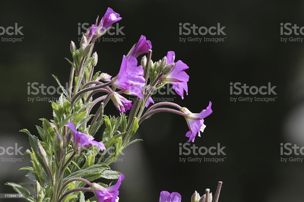 Great willowherb flowers Epilobium hirsutum close up waterside stock photo