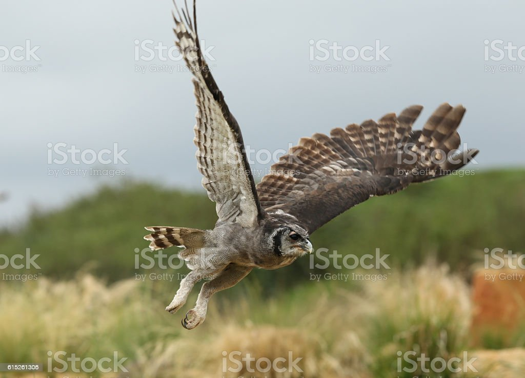 Close up of a Verreaux's Eagle Owl in flight stock photo