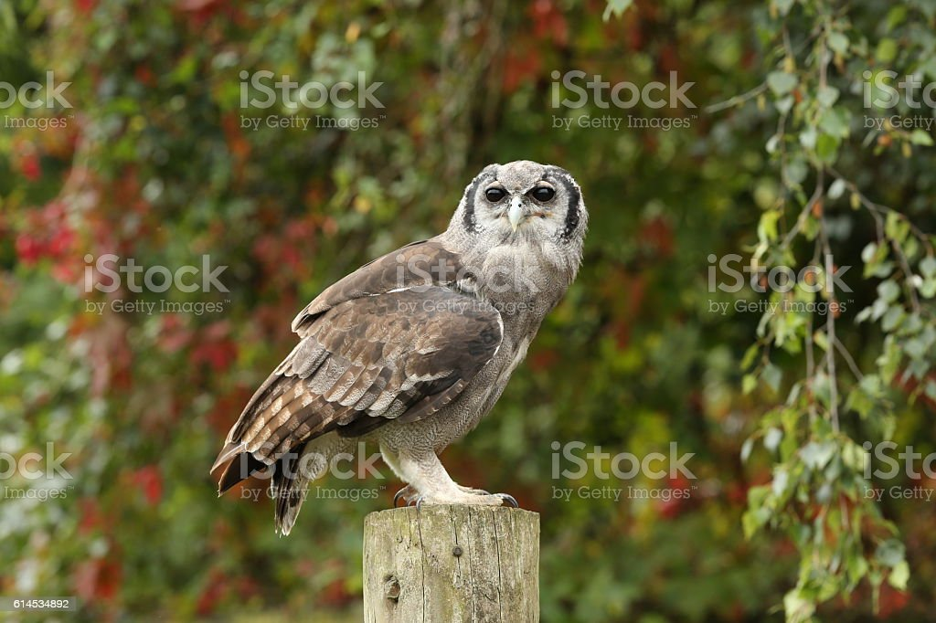 Close up of a Verreaux's Eagle Owl stock photo