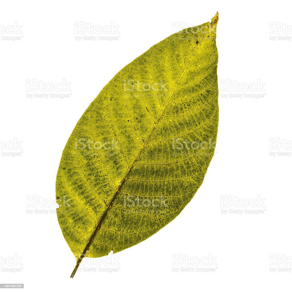 Close up of a vibrant walnut tree leaf stock photo