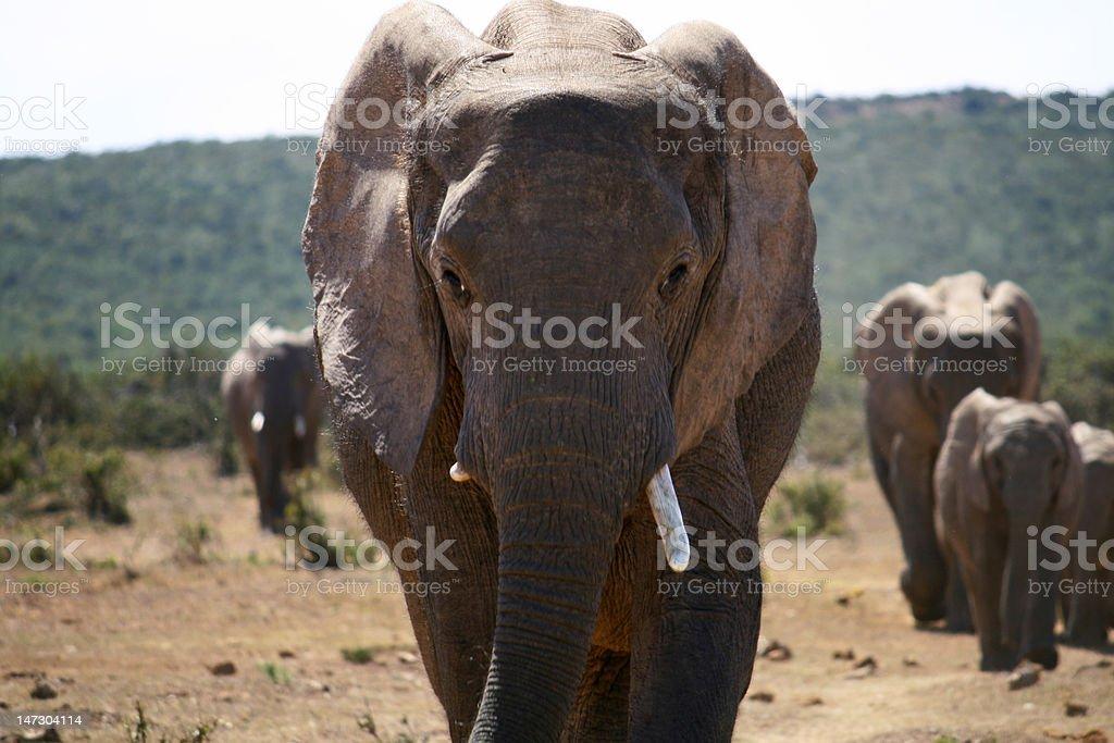 Close up of a walking elephant stock photo