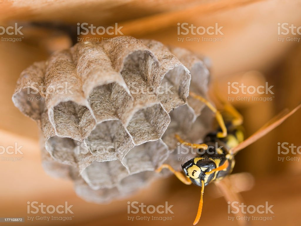 Close up of a wasp in a wasp nest royalty-free stock photo