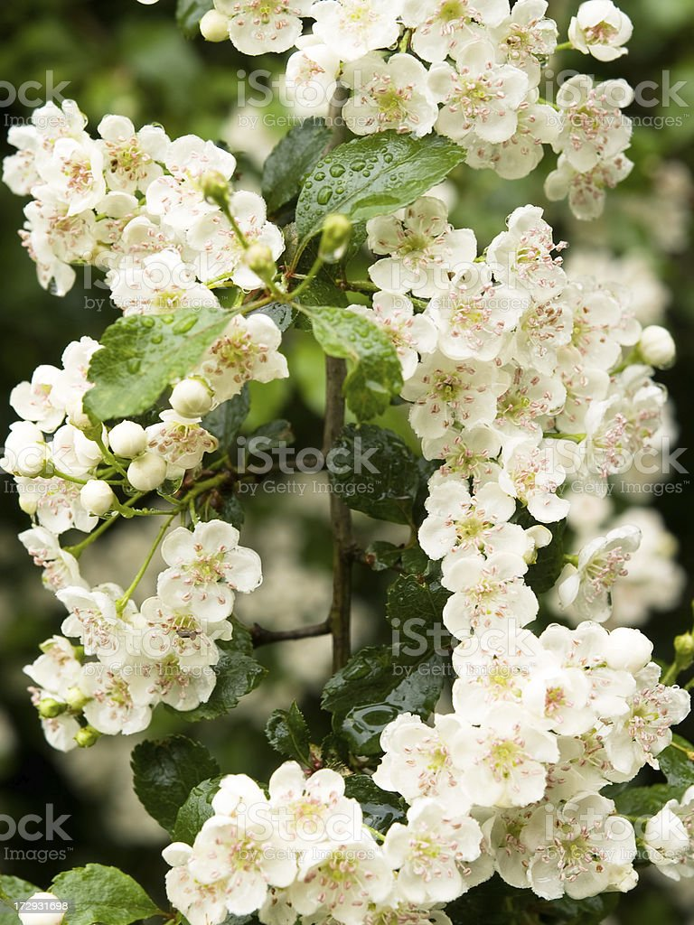 A close up of a white blossom plant royalty-free stock photo