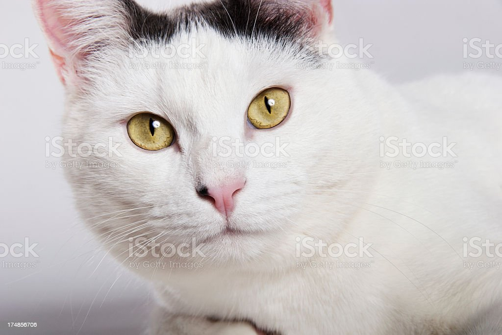 Close up of a white cat royalty-free stock photo