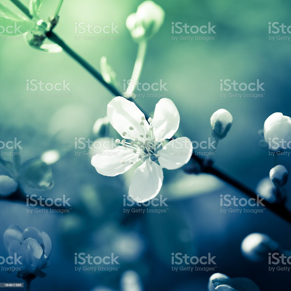 Close up of a white cherry blossom flower stock photo